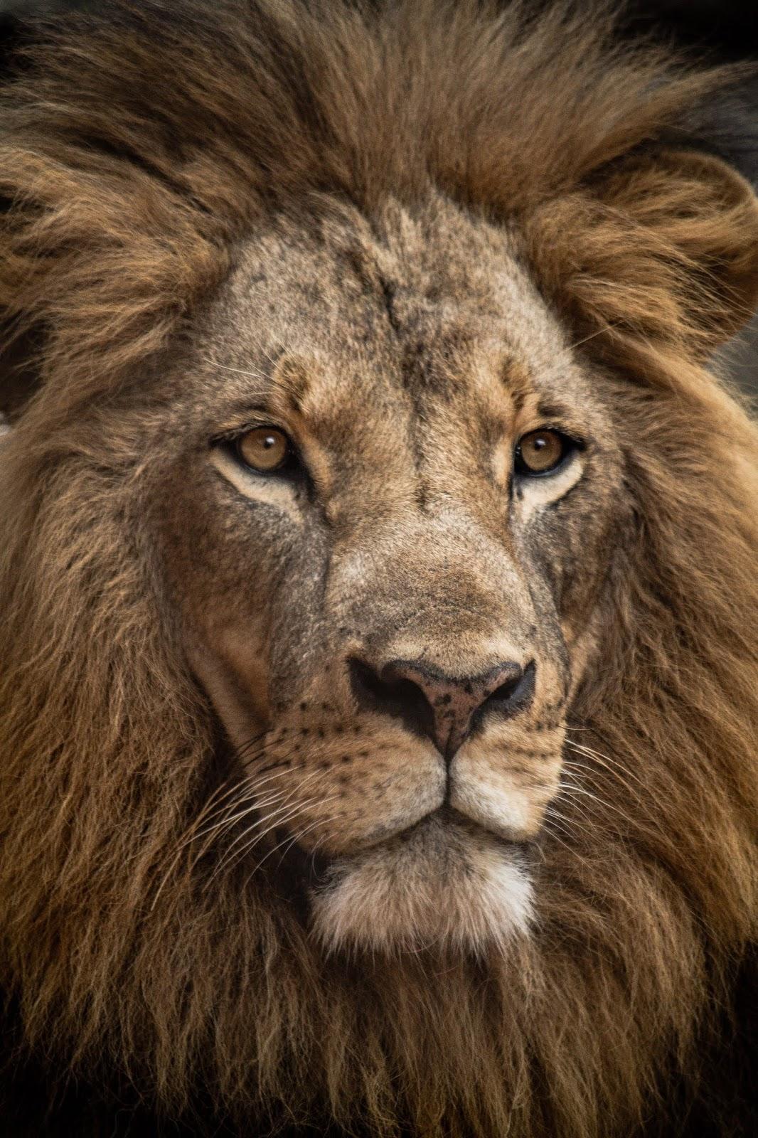 Lion in close-up shot,lion images
