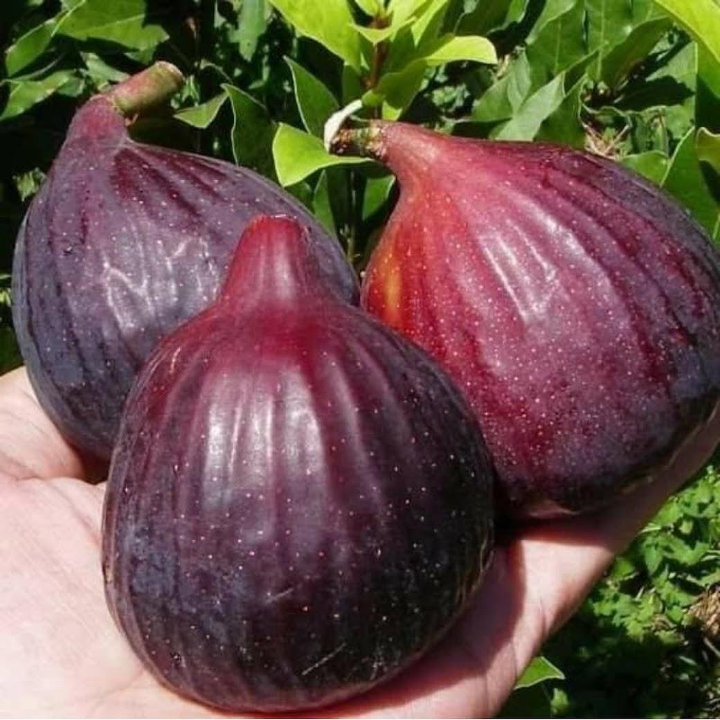 Bibit buah tin Brown Arabian Jawa Timur