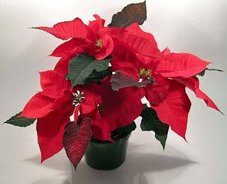 Kastuba Merah sang christmas flower sesuai namanya tanaman bunga bernama latin Poinsettia ini wajib ada saat natal dan tahun baru