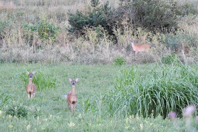 Deer Along the Creek