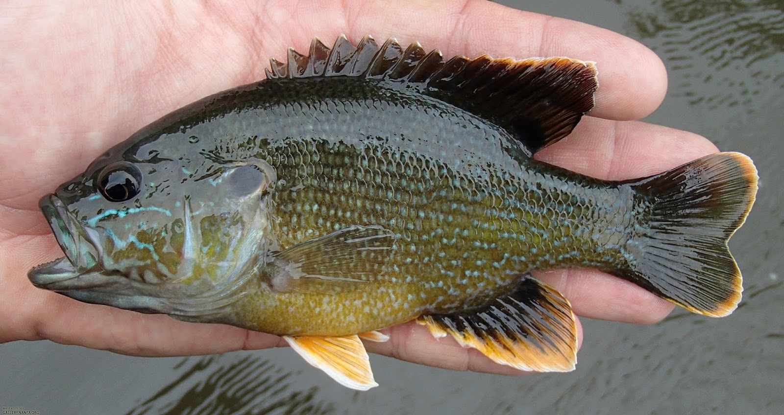 Virginia tech ichthyology class green sunfish is one for Blue gill fishing