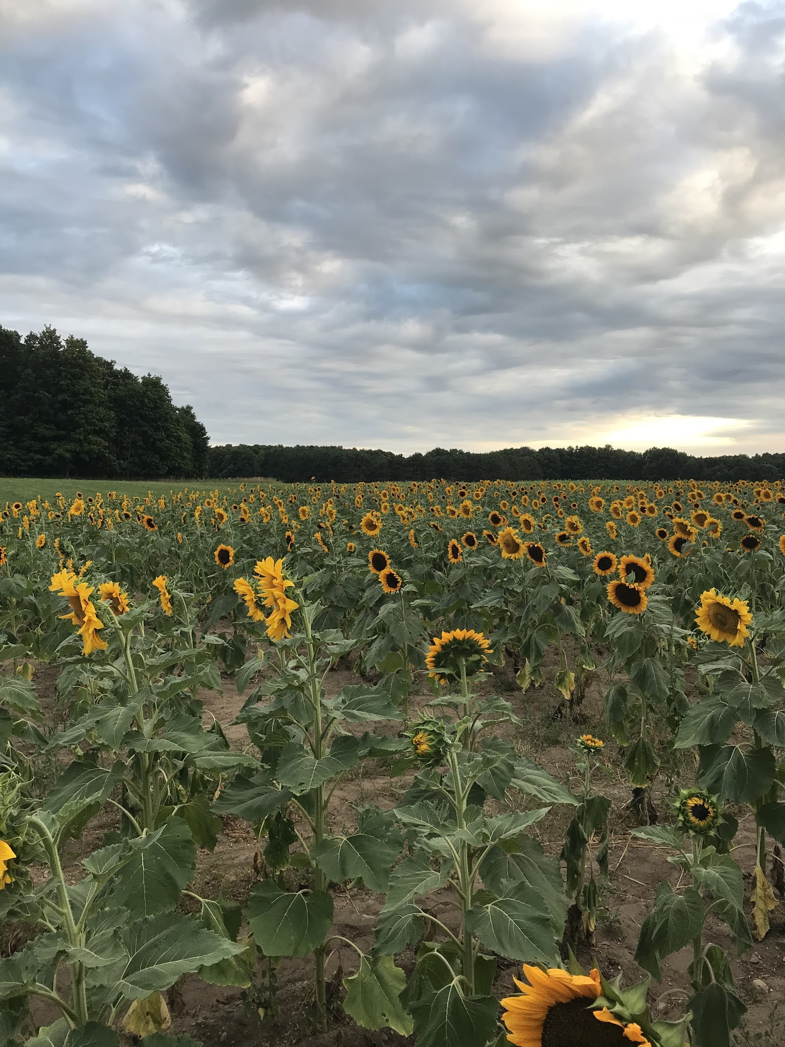 Sunflower Fields, Moomers Ice Cream | biblio-style.com