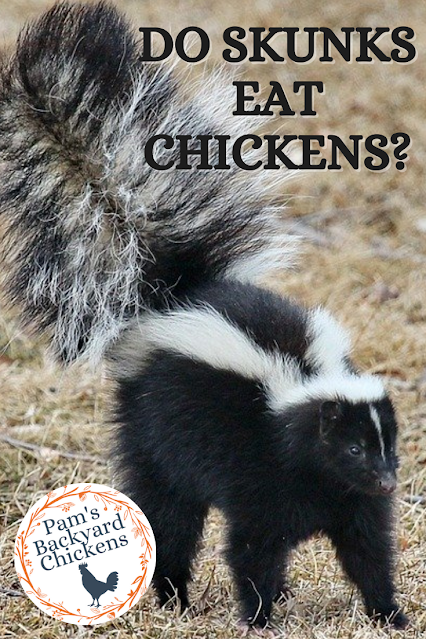 It's mating time for skunks and their smell permeates the air. With these critters at the forefront, many wonder do skunks eat chickens?
