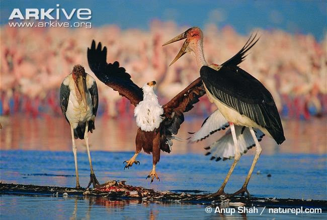 interactions betweeen african birds Marabou stork
