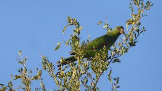 Papugi w Australii