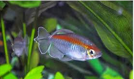 Jenis Ikan Hias Air Tawar  Aquarium Congo Tetra