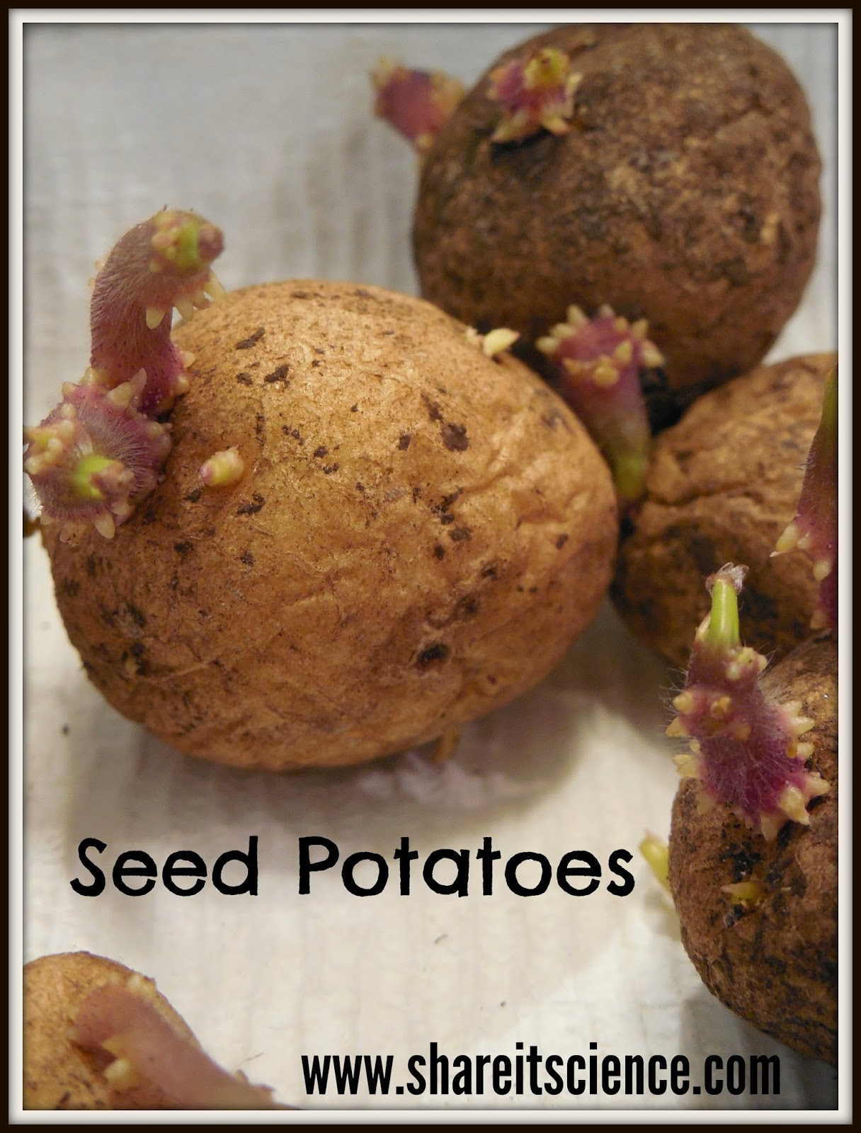 Share it! Science : Glimpse of the Garden: Week 7, Seed Potatoes