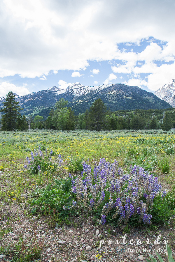 lupines and other wildflowers at Grand Tetons National Park