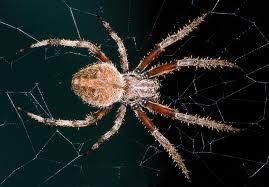 The Barn Spider Fun Animals Wiki Videos Pictures Stories