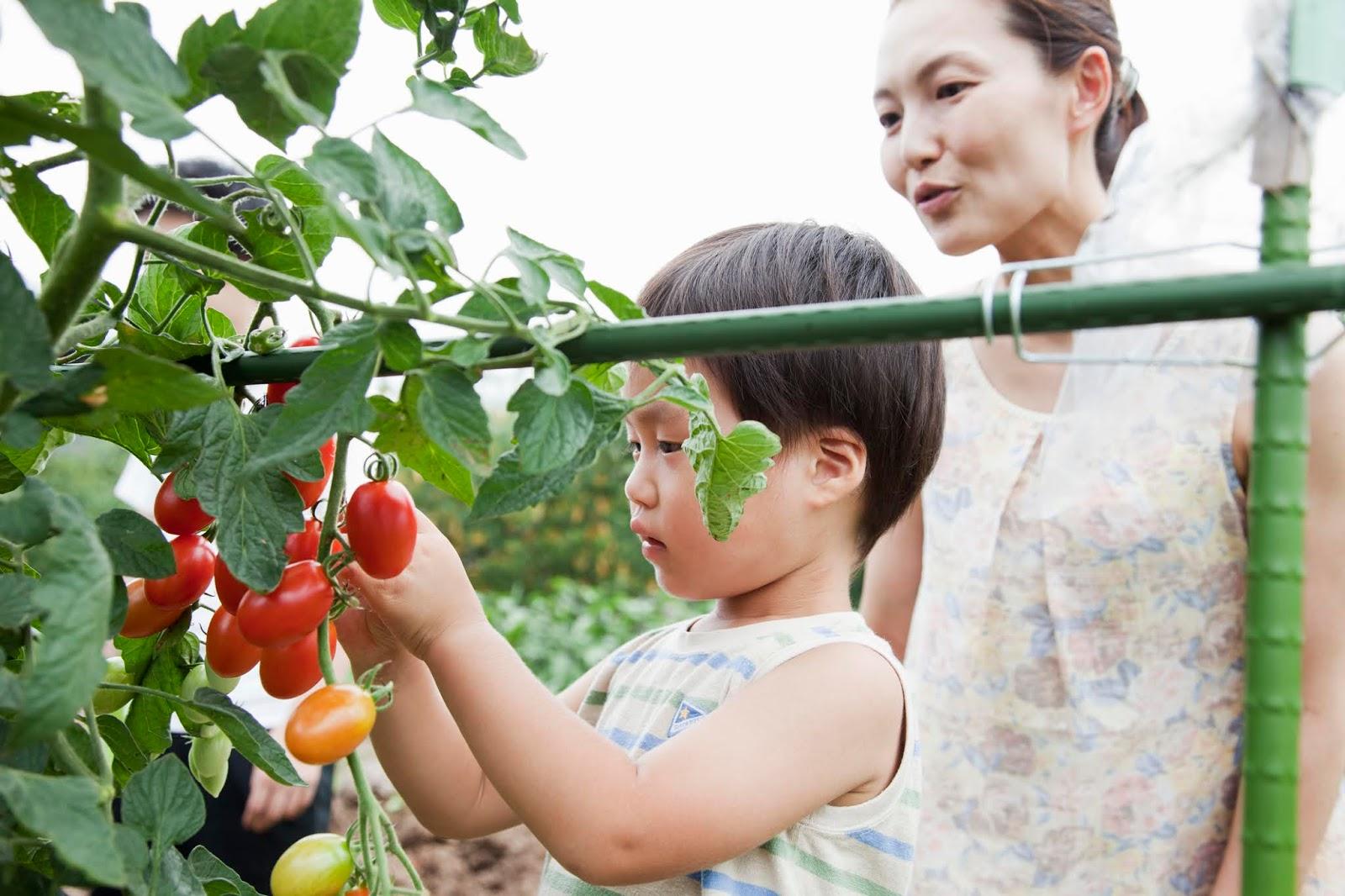 Cara Menanam Tomat Dirumah (Pot, Polybag, dan Hidroponik)