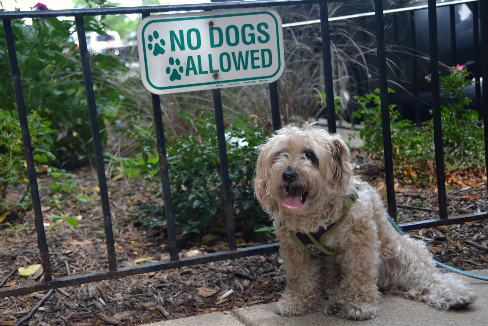Rescued Yorkie-Poo fights against no dogs allowed signs