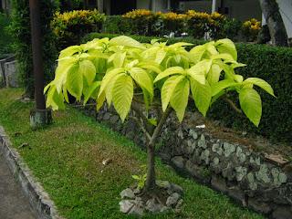 Jual Pohon Kol Banda | Aneka Pohon Pelindung | Jasa Tukang Taman Di Bogor