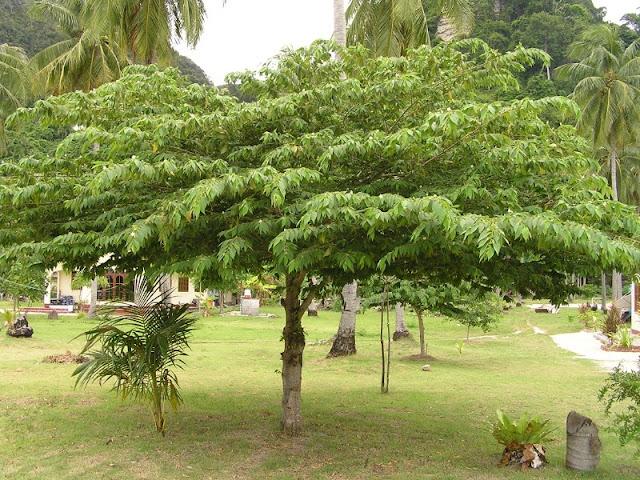 Ciri ciri Pohon Kersen