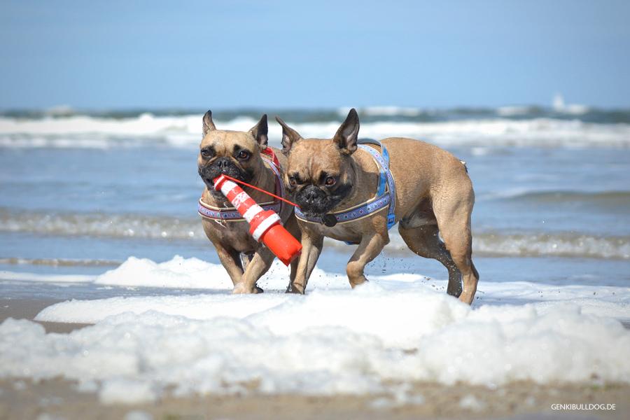 Hunde Srand Texel Niederlande Holland Meer Franzsöischebulldogge Wasserspielzeug