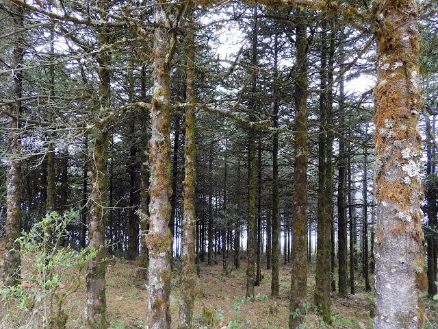 Trees so tall! | Sandakphu - April 2016