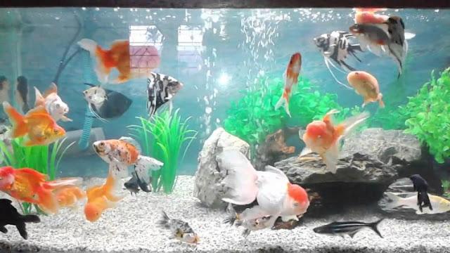 Dunia Ikan Hias - air Tawar