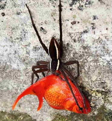 Laba-laba menangkap ikan mas koki