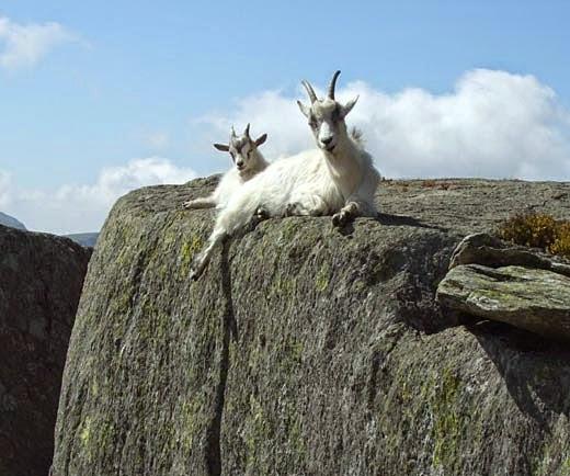 Cabra das Montanhas Rochosas