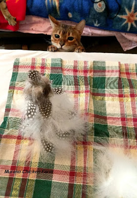 Cats and feathers don't mix