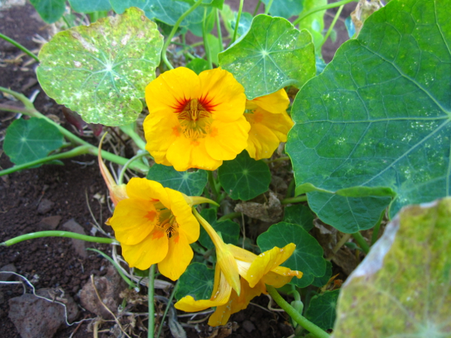 Yellow flower Madeira
