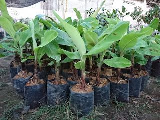 Bibit tanaman unggul - Budidaya tanaman pisang Cavendish sangat mudah untuk dilakukan. Namun, perlu kiranya diperhatikan tahapan-tahapan agar hasil panen pisang cavendish agar memperoleh kualitas pisang cavendish yang bagus. Sebelum pembahasan budidaya pisang Cavendish, untuk menambah pengetahuan, berikut ini saya sajikan seputar tentang Pisang Cavendish ini.