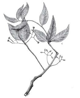 Mengenal Mangrove : Amyema anisomeres Dans.