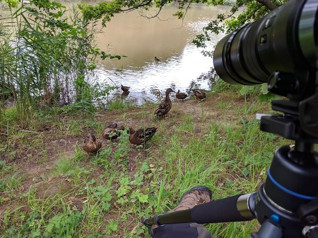 Das Stativ mit der Kamera und die Enten