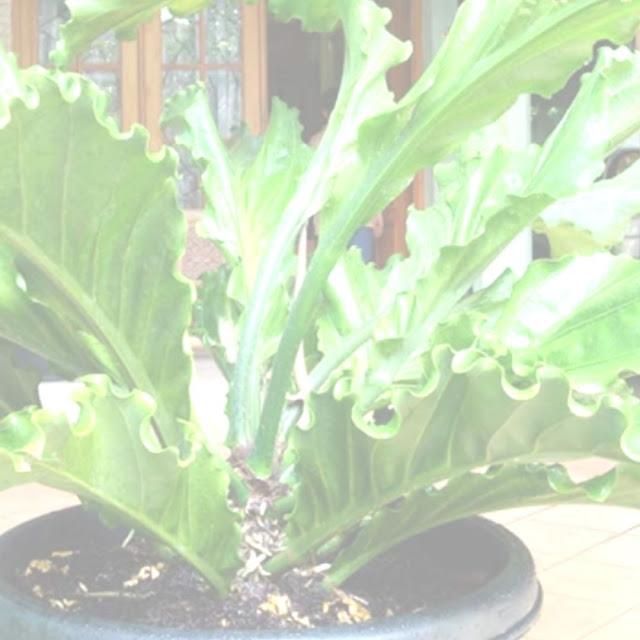 tanaman daun hias
