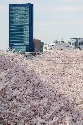 dinfo.gr - 21 υπέροχες φωτογραφίες με ανθισμένες Ιαπωνικές κερασιές - sakura
