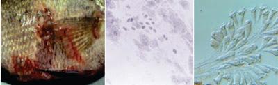Penyakit Protozoa : Dekil (Fouling Disease)