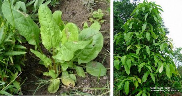 Verduras mineiras: azedinha e ora-pro-nobis