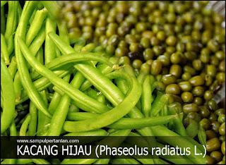 Klasifikasi dan Morfologi Tanaman Kacang hijau (Phaseolus radiatus L.)