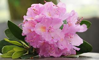 bunga azalea pink