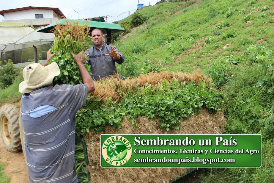 cosecha de cilantro
