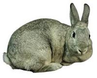 House Rabbit Breeds