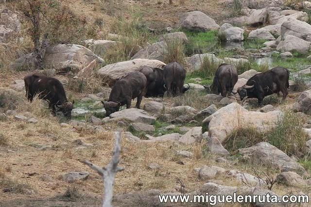 Búfalos-del-cabo-Berg-En-Dal-Kruger