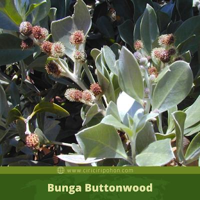 Ciri Ciri Bunga Buttonwood