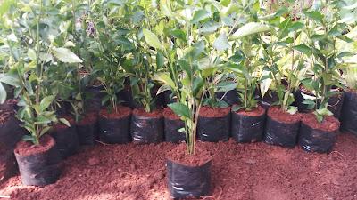 Jual Bibit Pohon Teh Tehan Pagar di Bekasi - Tukang Rumput Bogor