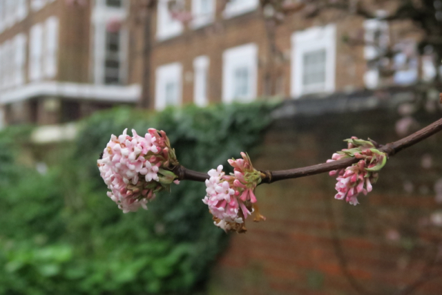 Close up of Viburnum pink flowers with brick building in the background