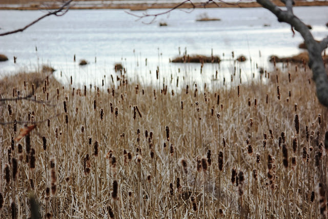 Cattails Scarborough Marsh