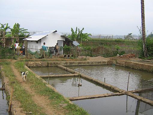 Tata Laksana Pembesaran Ikan Nila Ikan Nila