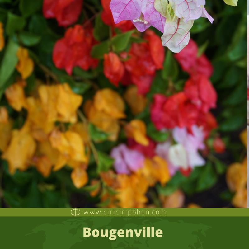Panduan Mudah Menyilangkan Tanaman Bougenville Ciriciripohon Com