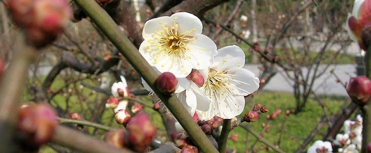 上海の公園に咲く白い梅の花