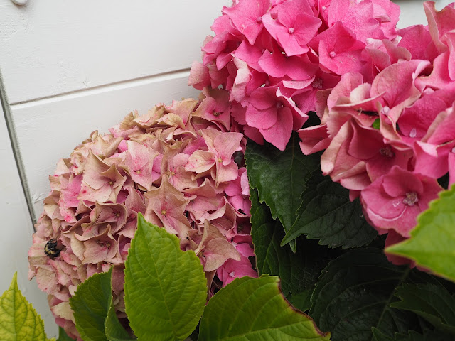 Garden My Top Tips For Growing And Drying Hydrangeas Even In