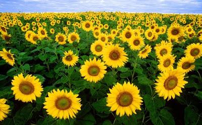 Sunflowers HD image