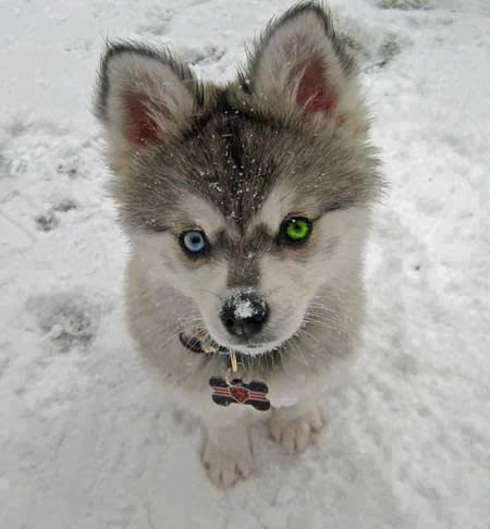 Cute and Funny Pictures and more: Cute baby husky puppy in ...