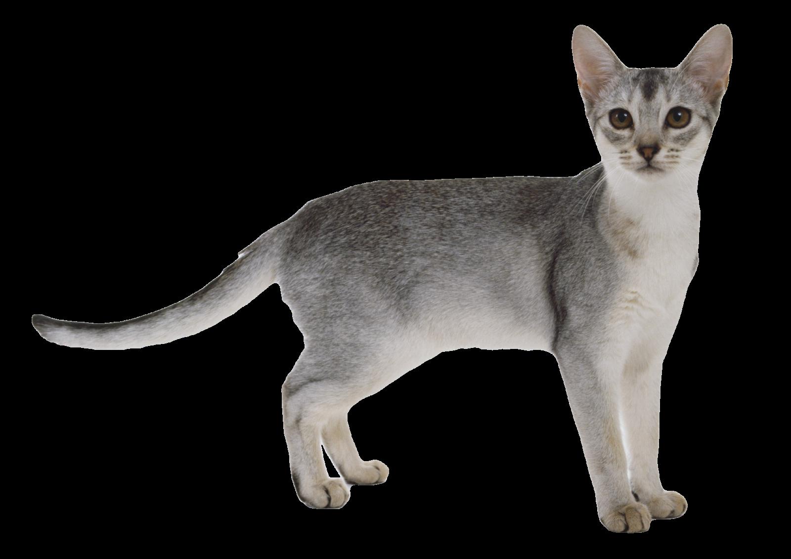 ΓΑΤΑ ΓΚΡΙ - FORMAT PNG TRANSPARENT ( CAT ) | Find images