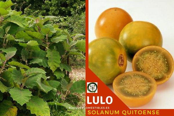 Lulo o naranjilla , Salanum quitoense, esta planta tropical pertenece a la familia Solanáceas