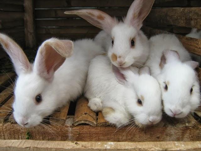 kelinci dikawinkan agar cepat banyak