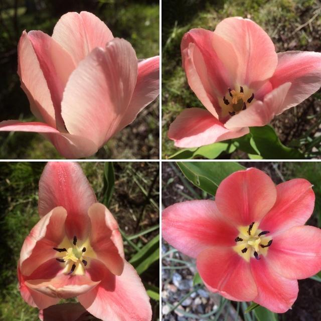 Vaaleanpunaiset tulppaanit